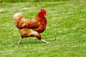 Zwierzęta gospodarskie - jakie jest podział?